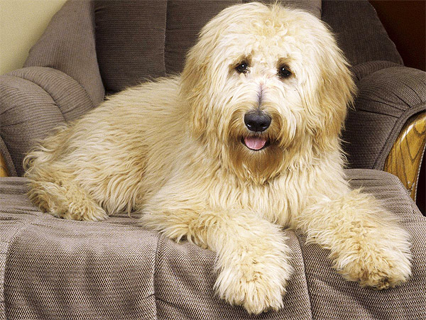 Hairy Dog Breeds | So Pets