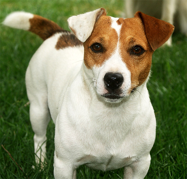jack russell terrier so pets. Black Bedroom Furniture Sets. Home Design Ideas
